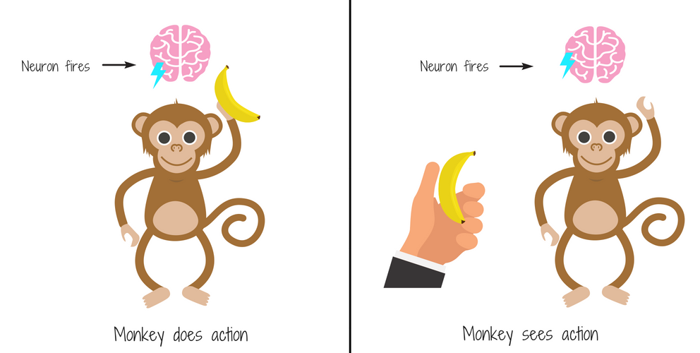 A demonstration of mirror neurons at work. A monkey does an action, another monkey sees the action and replicates.