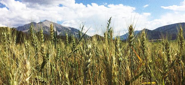 Grains Grow For The Colorado Distillery