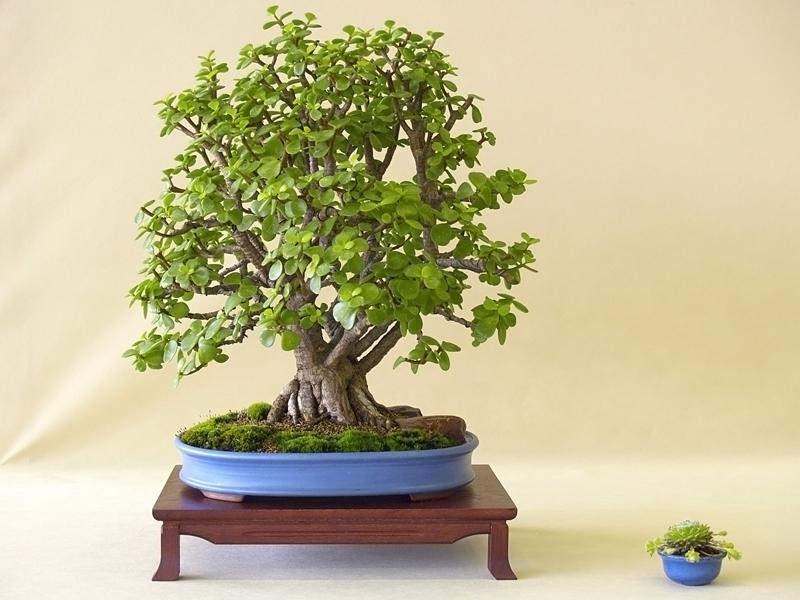 Толстянка (Крассула, денежное дерево)