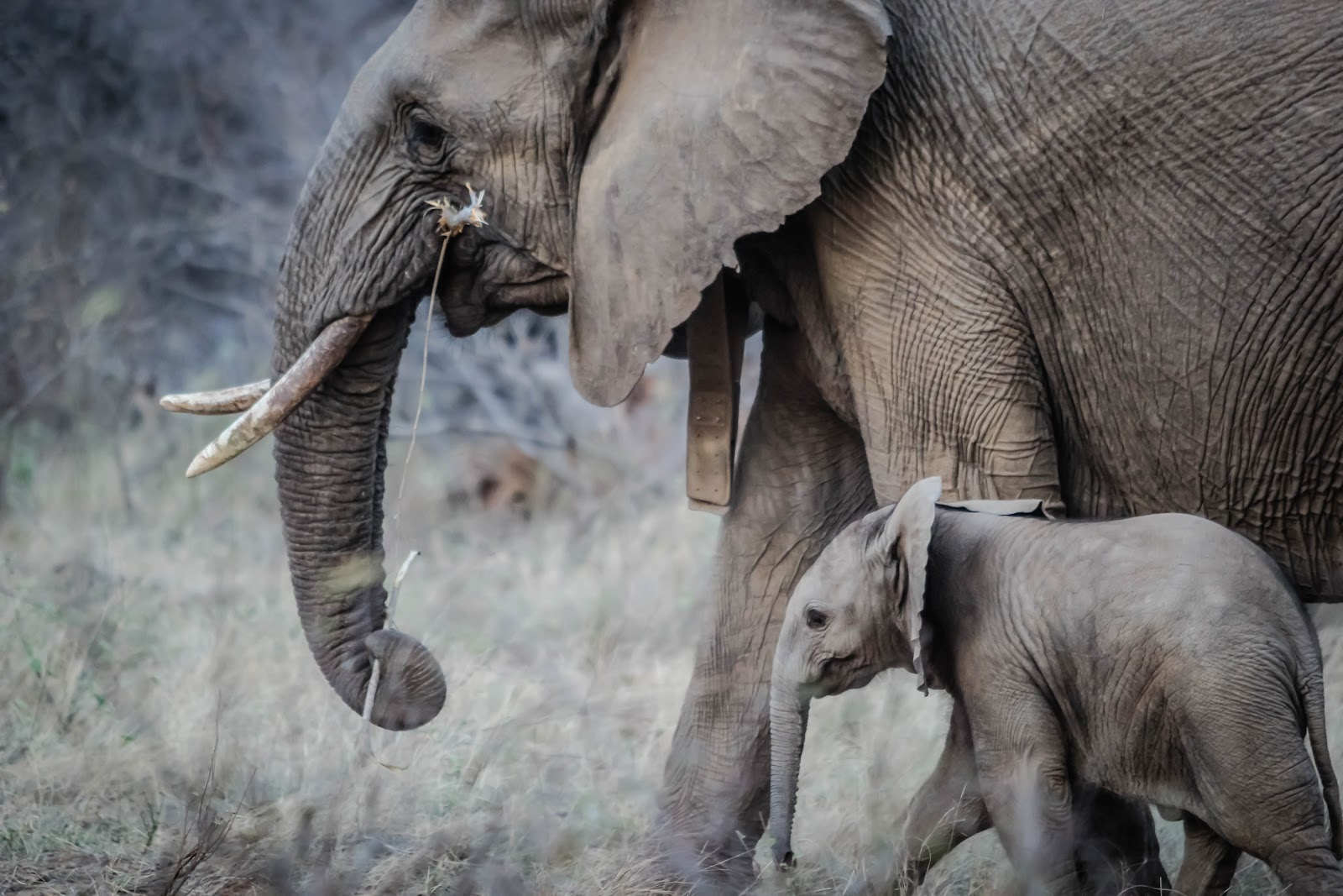 Mother and baby elephant walking through grass