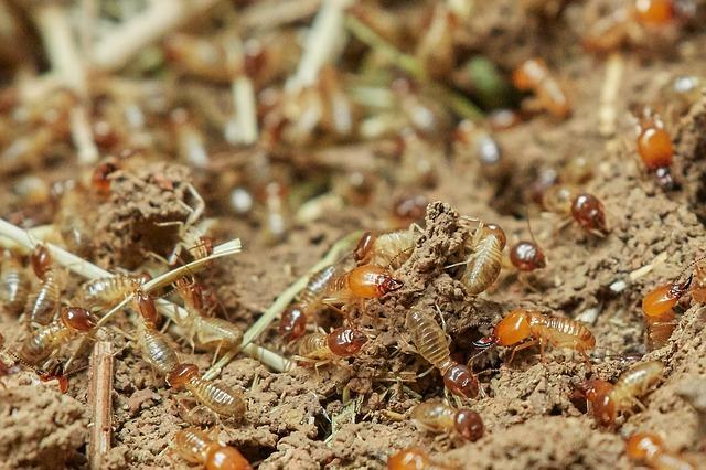 A colony of termites on the ground.