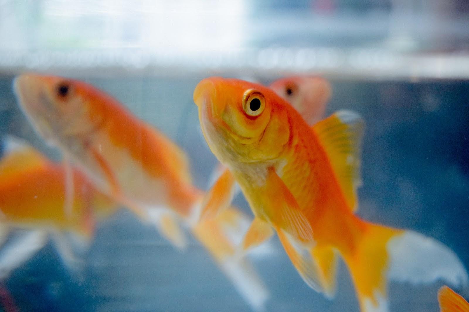 Several goldfish