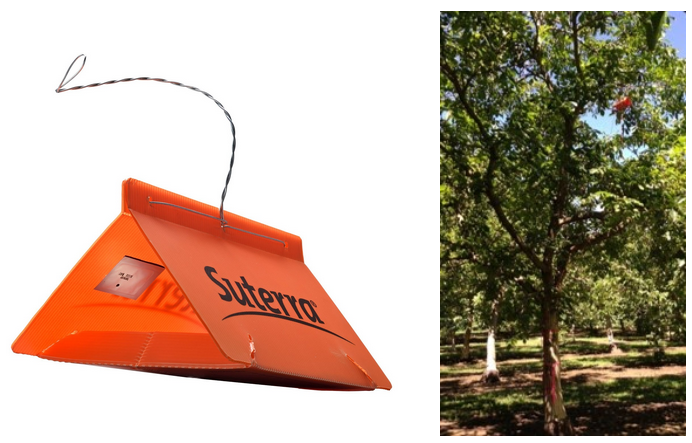 Left image shows an orange plastic delta trap with Suterra's logo. Right image shows a delta trap in the upper canopy of a tree.