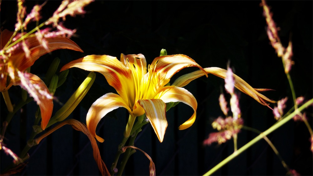 Golden Lily 3 FX.jpg
