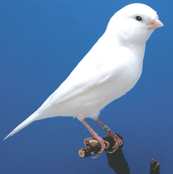 A white recessive color canary is shown