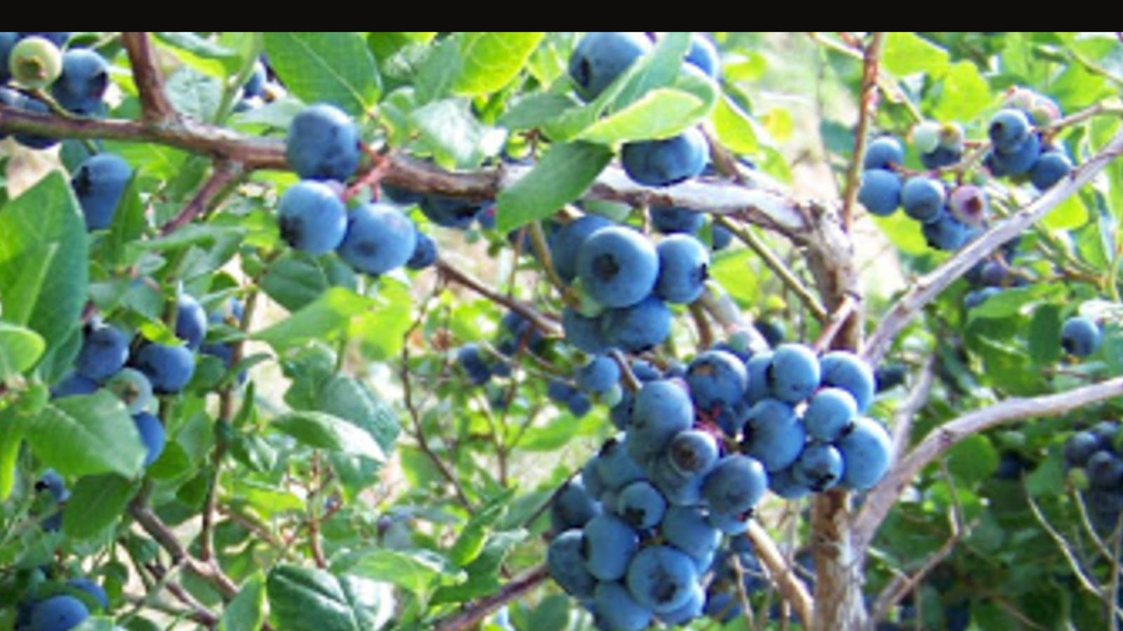 types of blueberries