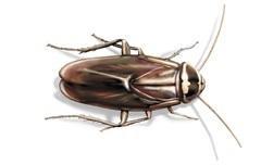 https://cdn-prod.servicemaster.com/-/media/Feature/Terminix/Cockroaches/type_australian-cockroach.jpg?rev=d8194746c32b4dd6baf51d42f2b84639