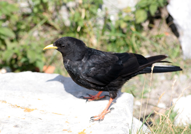 webchough.jpg