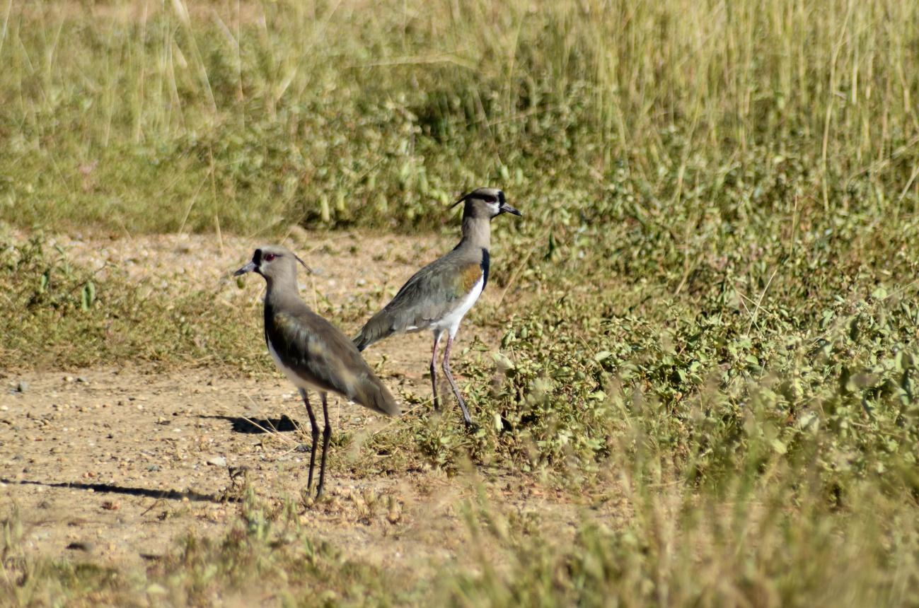F:alcaraban- Vanellus chilensis.jpg