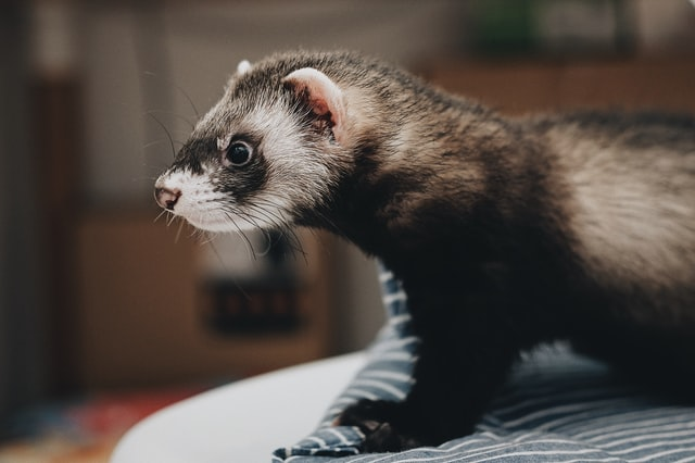 Ferrets | Searching for an easy pet to adopt?