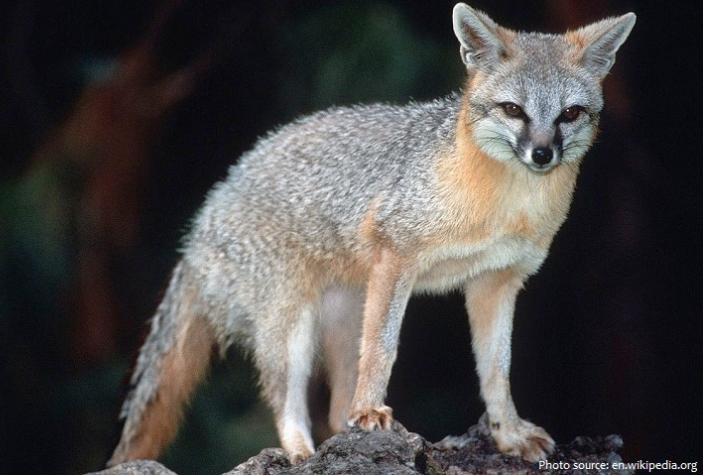 Macintosh HD:Users:janschwartz4:Desktop:AZ MN course:Gray Fox:Gray fox.png