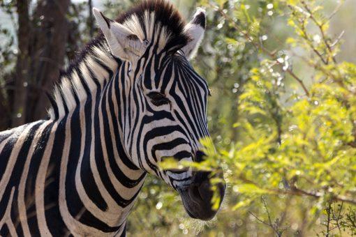 Animais da África do Sul - Cabeça de uma zebra atrás de folhagem verdinha iluminada pelo sol.