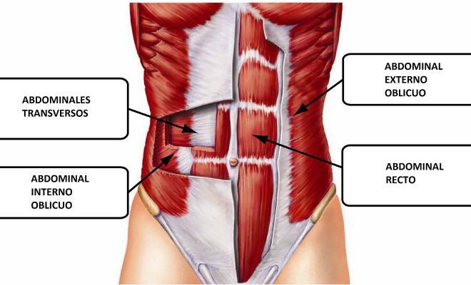 Resultado de imagen de abdomen anatomia musculos