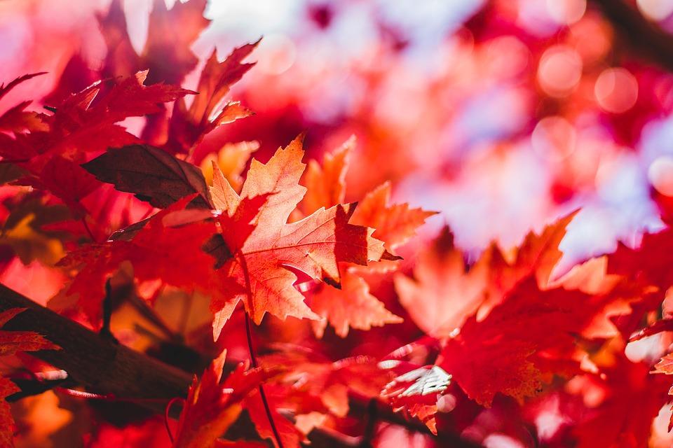 Red orange leaves on a tree
