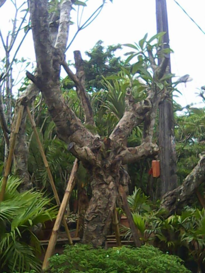 Harga Bibit Kamboja Fosil,Tinggi 3 Meter
