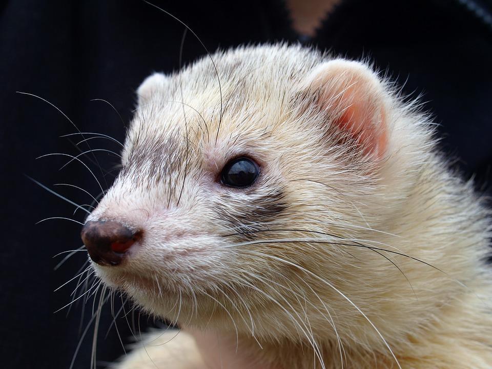 Ferret, Pet