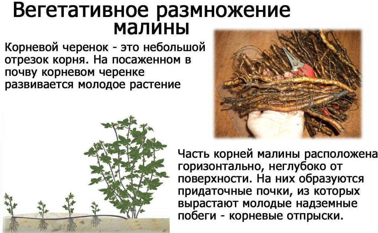 Вегетативное размножение малины