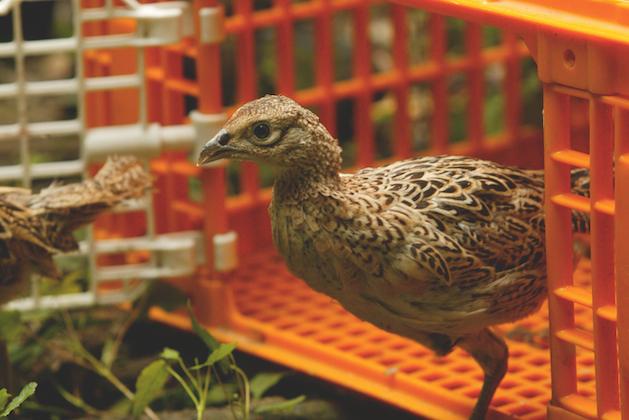 Releasing gamebird