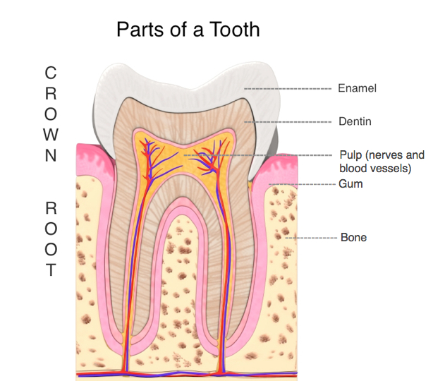 An illustration showing parts of a tooth