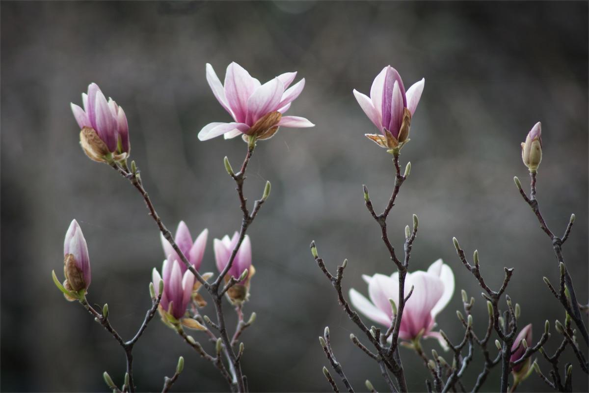 Magnolia Tree.jpg