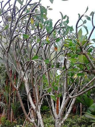 Nilai Estetika dari Sebuah Pohon Kamboja Fosil