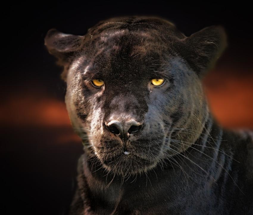 roban-una-pantera-negra-zoológico-residencia-staff-