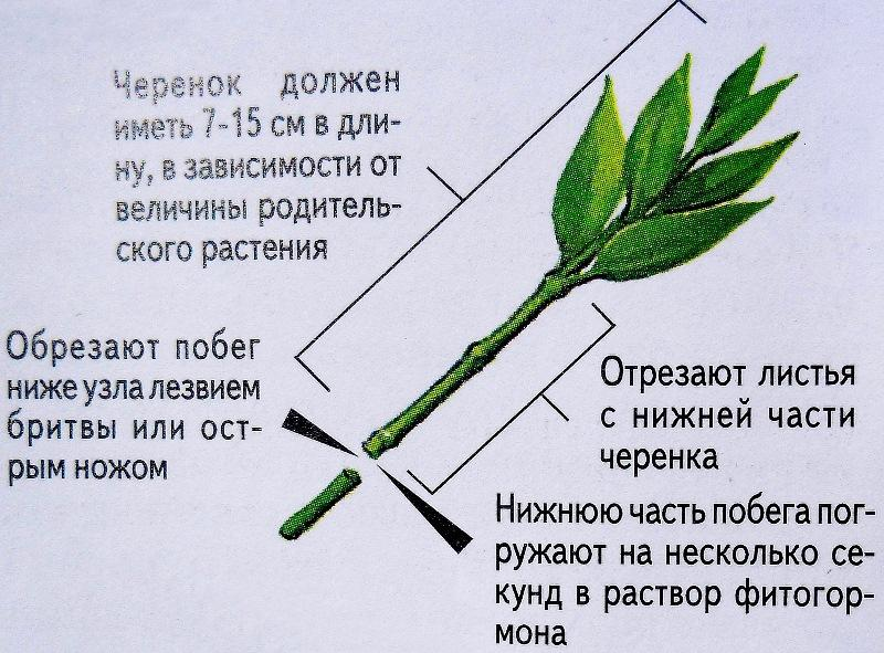 http://overplant.ru/wp-content/uploads/2017/03/cherenok-podgotovlennyi-k-posadke.jpg