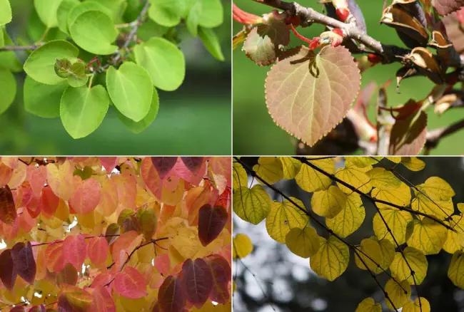 Листья японского багряника