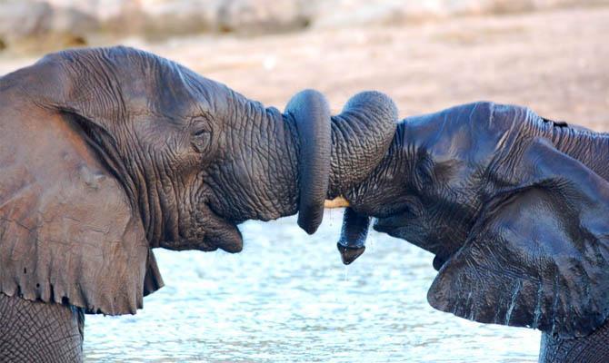 Слоны обвиваются хоботами - Интересные факты о слонах