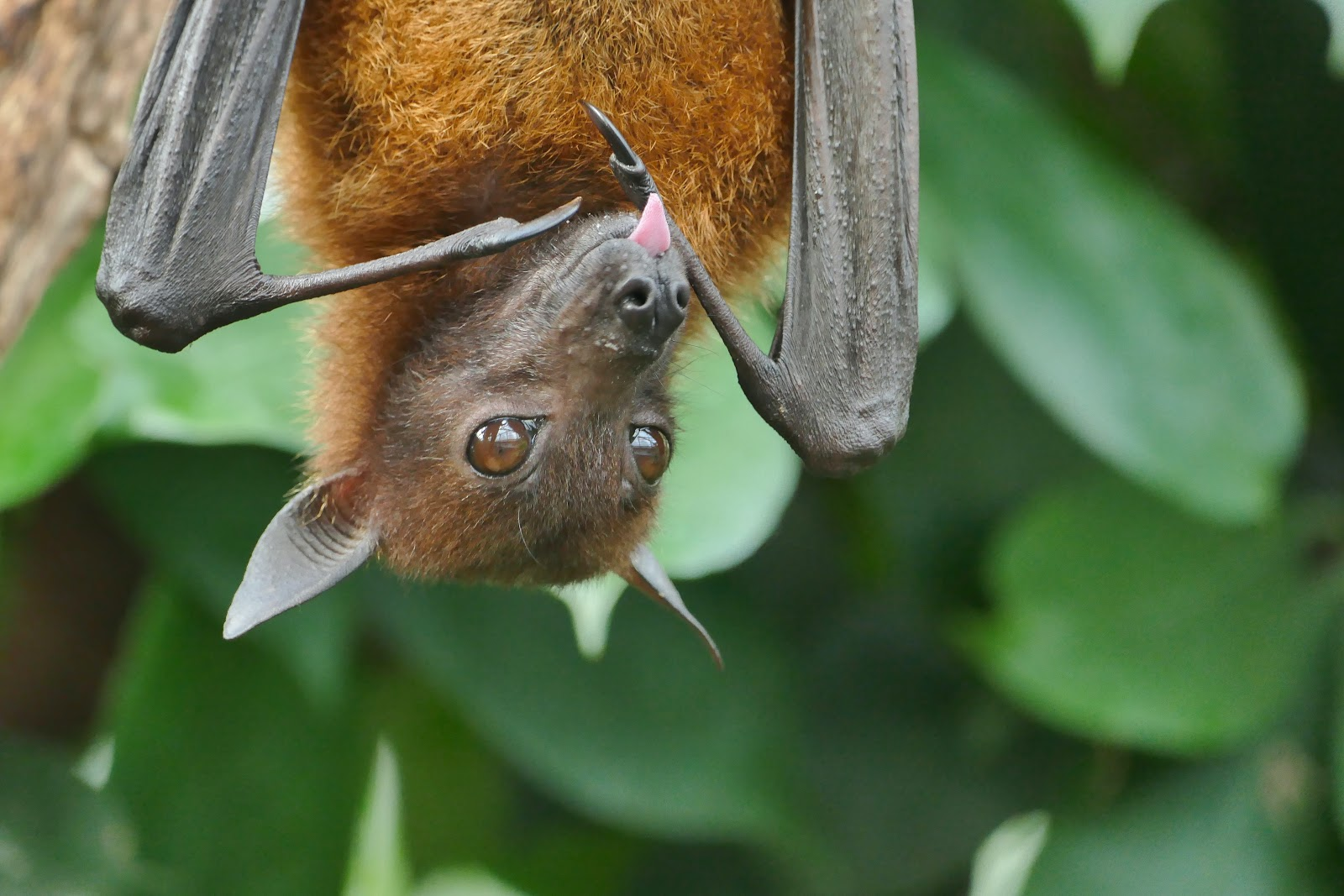 Factory farming: Bats were blaming for provoking the Coronavirus