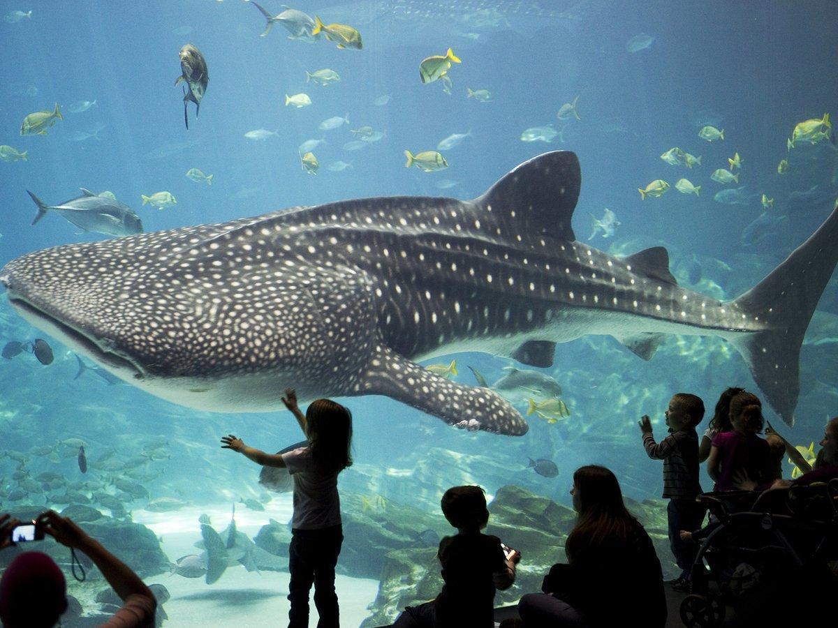 whale shark 3.jfif