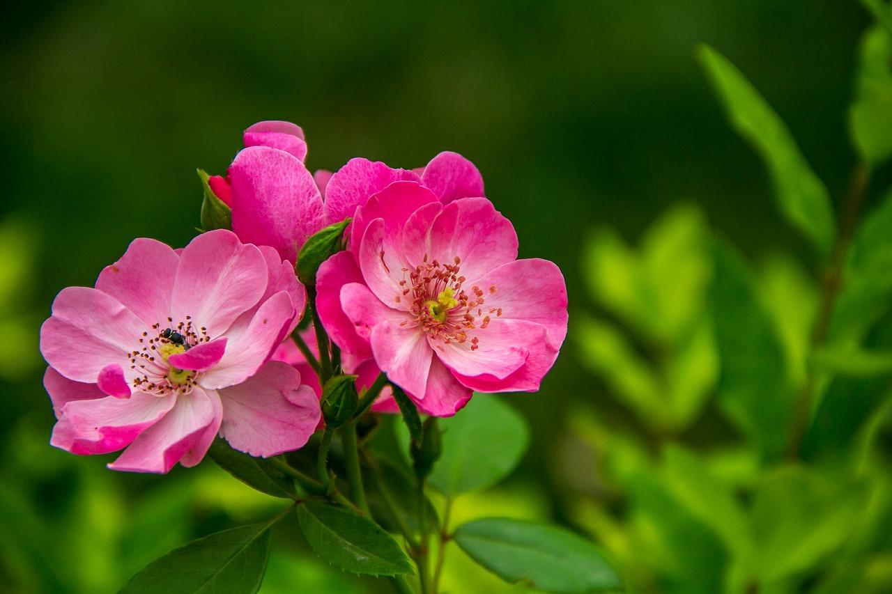 rose-526543_1280.jpg