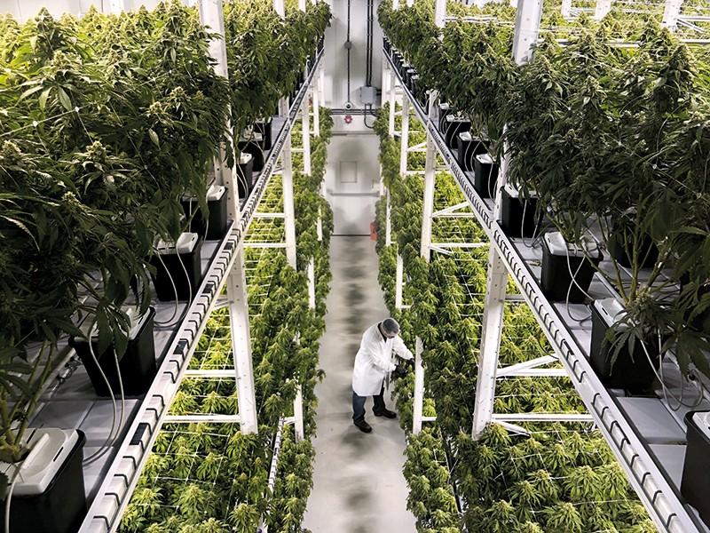 Cannabis Cultivation Director