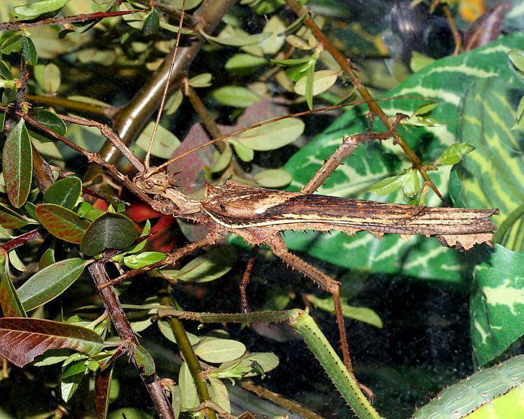 File:Heteropteryx dilatata - male.jpg