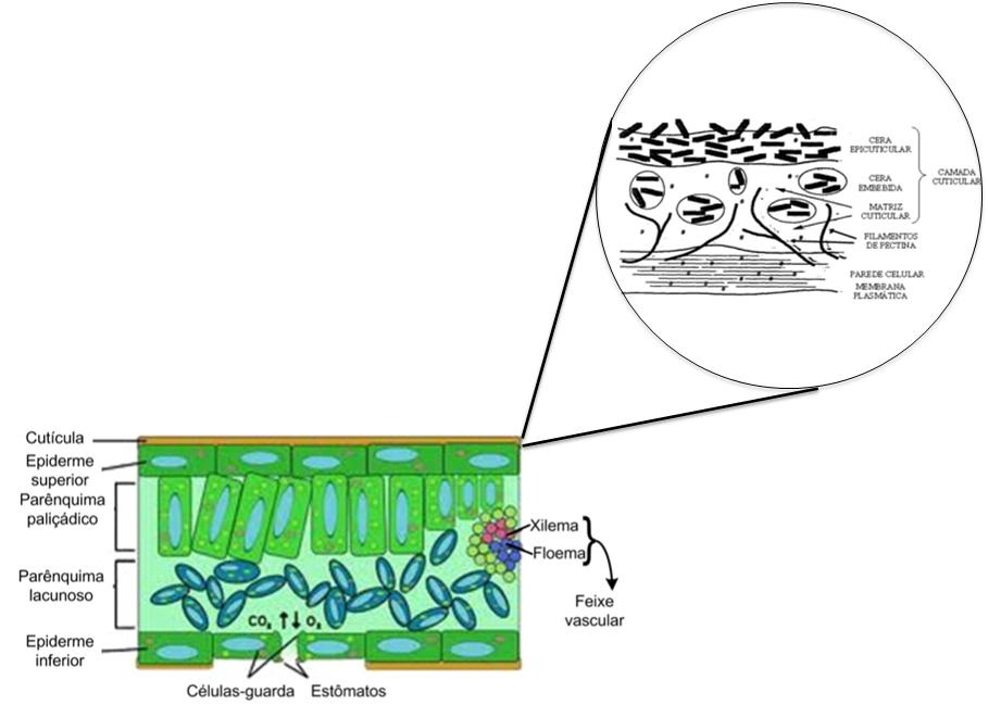 Absorção de Aminoácidos:  Morfologia da folia e composição da cutícula. (Fonte: adaptado de Silva et al., 2007 e McKenna, 2011)