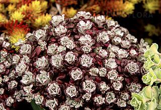 https://www.vitroflora.pl/img/produkty/rosliny/sedum-spathulifolium-purpureum_2.jpg