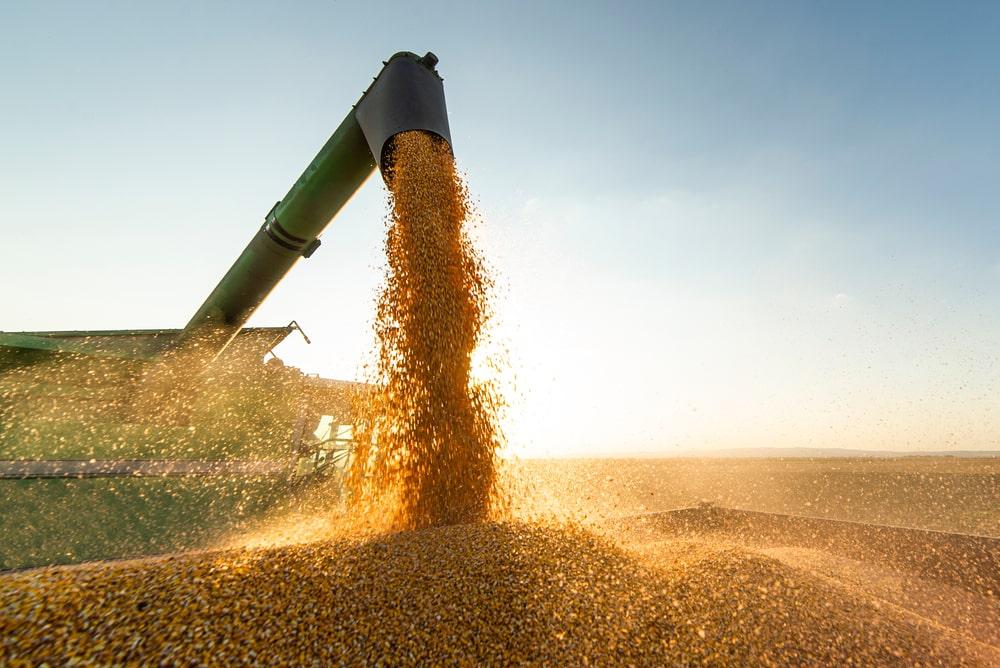 É a primeira vez que a produção do grão atinge mais de 100 milhões de toneladas. (Fonte: Shutterstock)