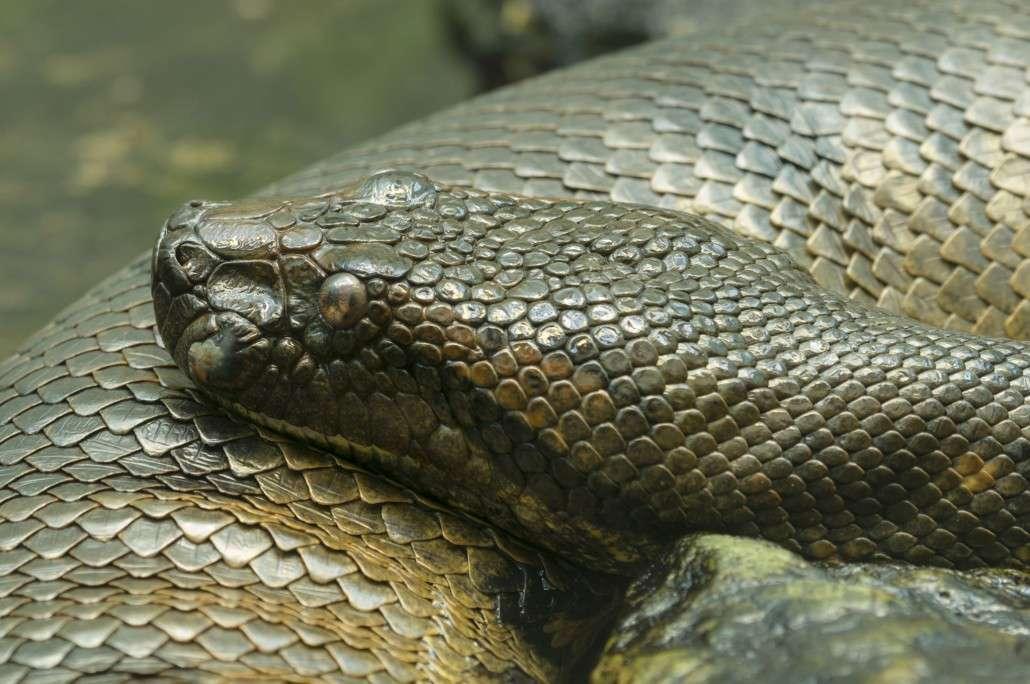 Image result for green anaconda