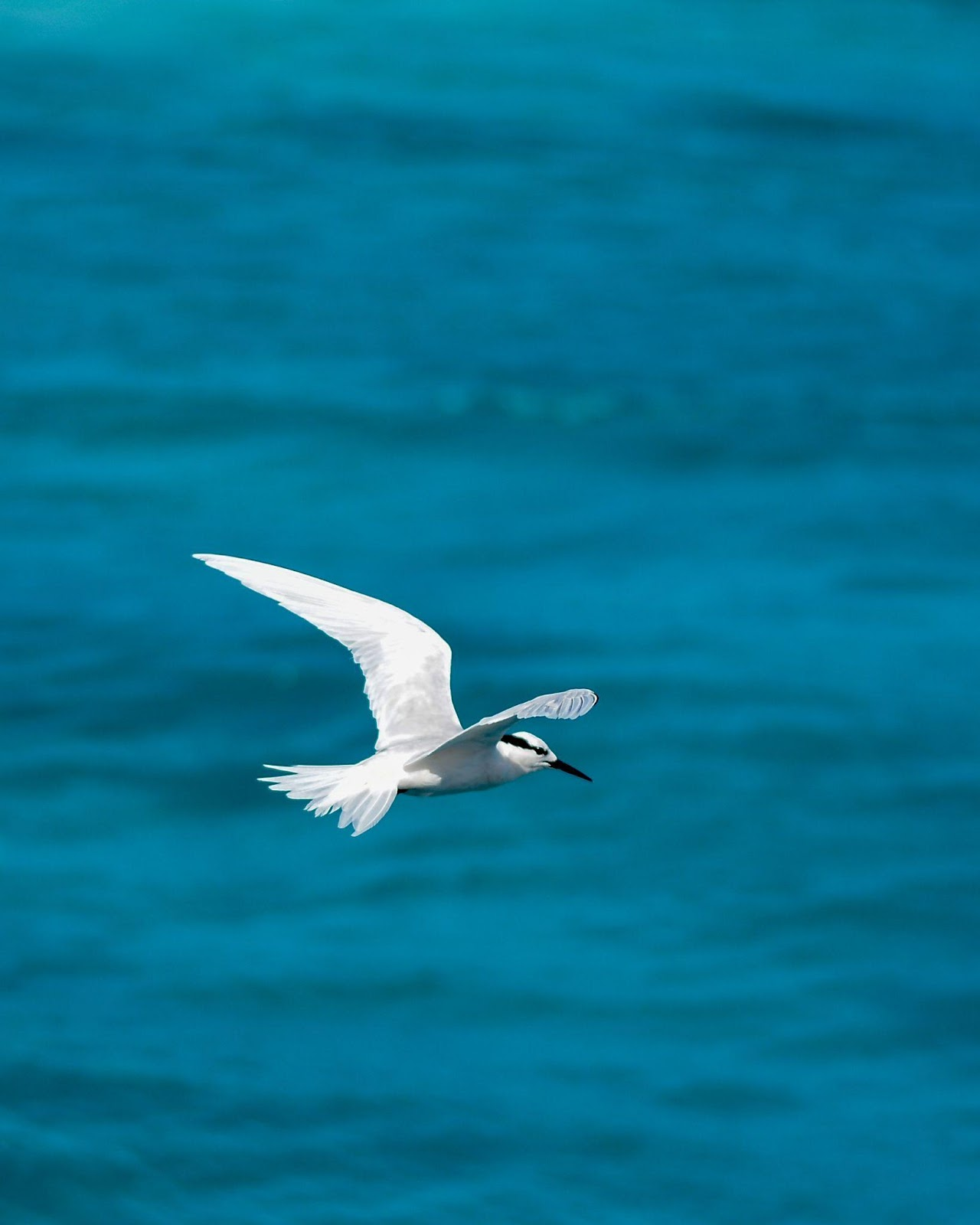 Arctic Tern flying over the ocean