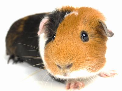 guinea-pig-1.jpg