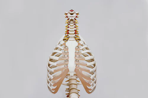 Image of the upper part of a skeletal system