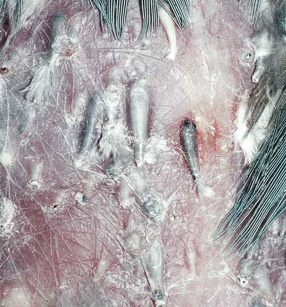 Swelling of follicles in a bird with dermatomycosis