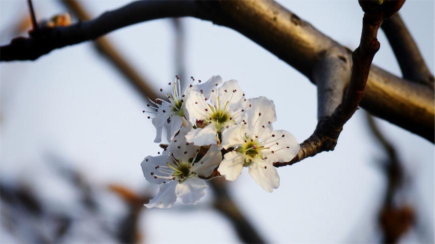 Blossoms 4.jpg