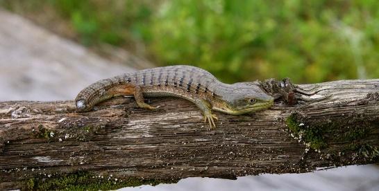 Image result for southern alligator lizard