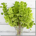 Hoa chuông Ái nhĩ Lan - Bells-of-Ireland ,Molucella laevis,MOL00055