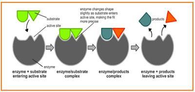 https://4.bp.blogspot.com/-ONCbsMRF0L4/VkZRUZAvBHI/AAAAAAAAvpY/z38xrQB_g7M/s400/enzim%2Bbekerja.jpg