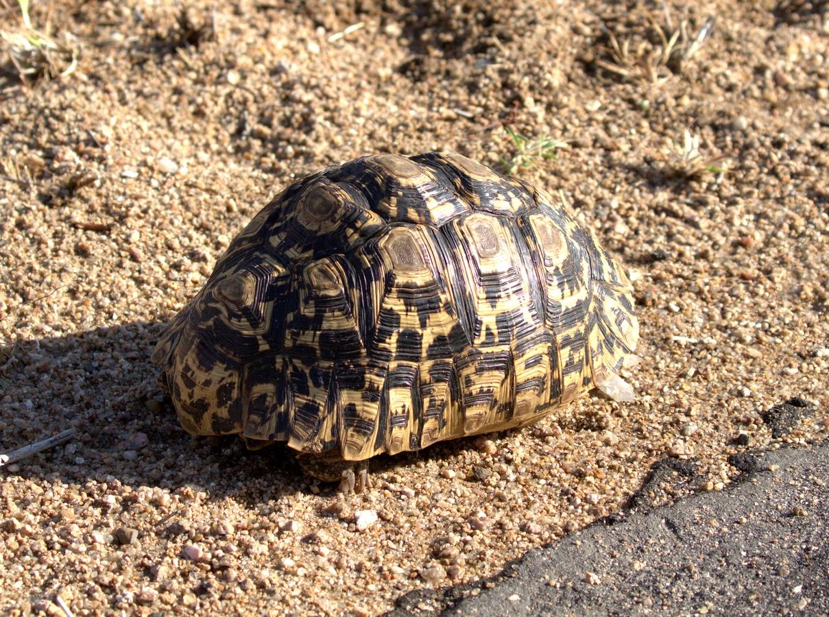 leopard tortoise (Copy).jpg