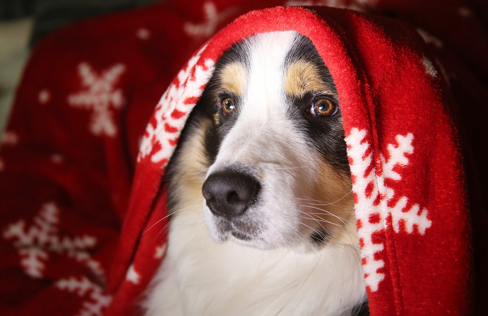 brown, white, and black dog with a red blanket draped over his head