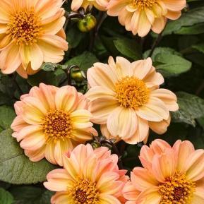 Dahlightful™ Georgia Peach - Dahlia variabilis