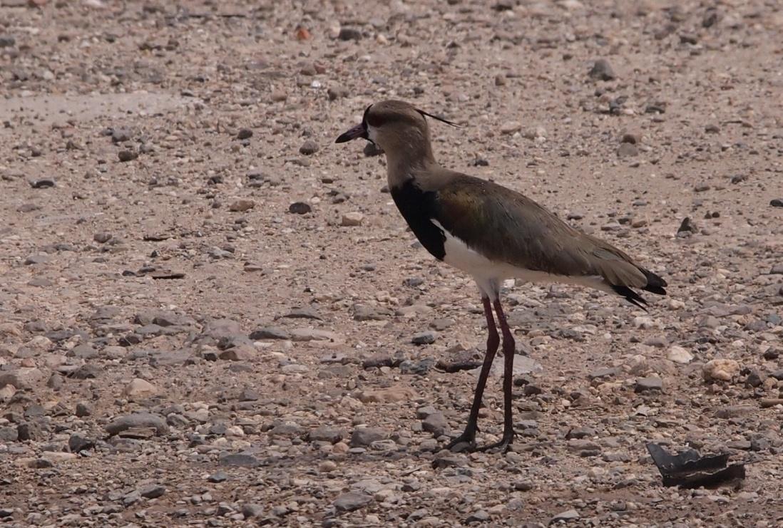 E:escritorioAves del Semiarido LarenseNo Passeriformes (24 familias)13. Charadriidae (1 especie)a.Alcaravan.jpg